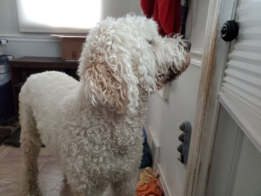 6 Possible Reasons Your Dog Stares at the Wall