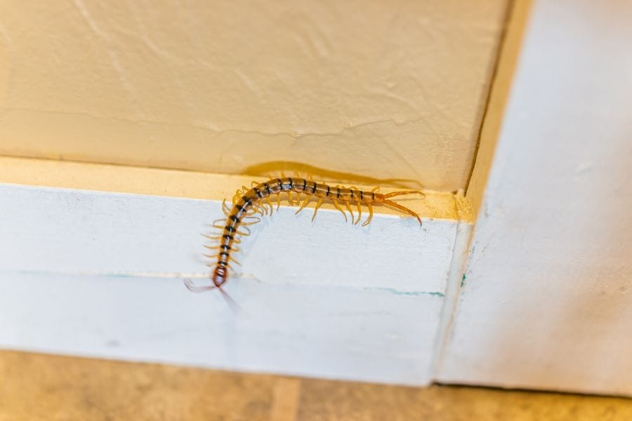 5 Easy Steps to Keep Centipedes Out of Your Bed