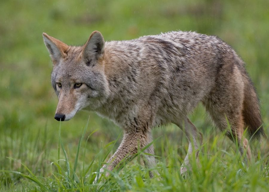 Why Do Coyotes Attack Dogs? (Plus 6 Ways to Keep Them Safe)