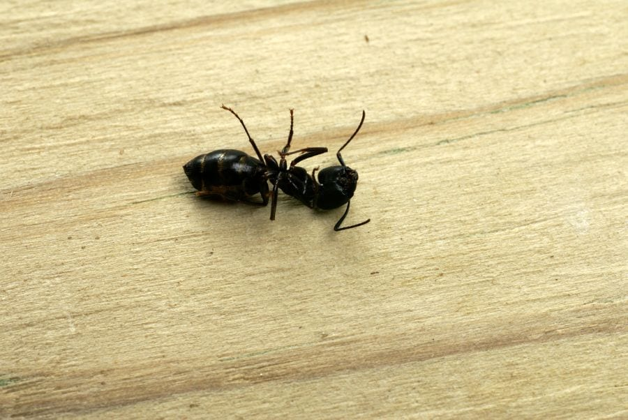 Do Dead Ants Attract More Ants? (How to Keep Them Away)