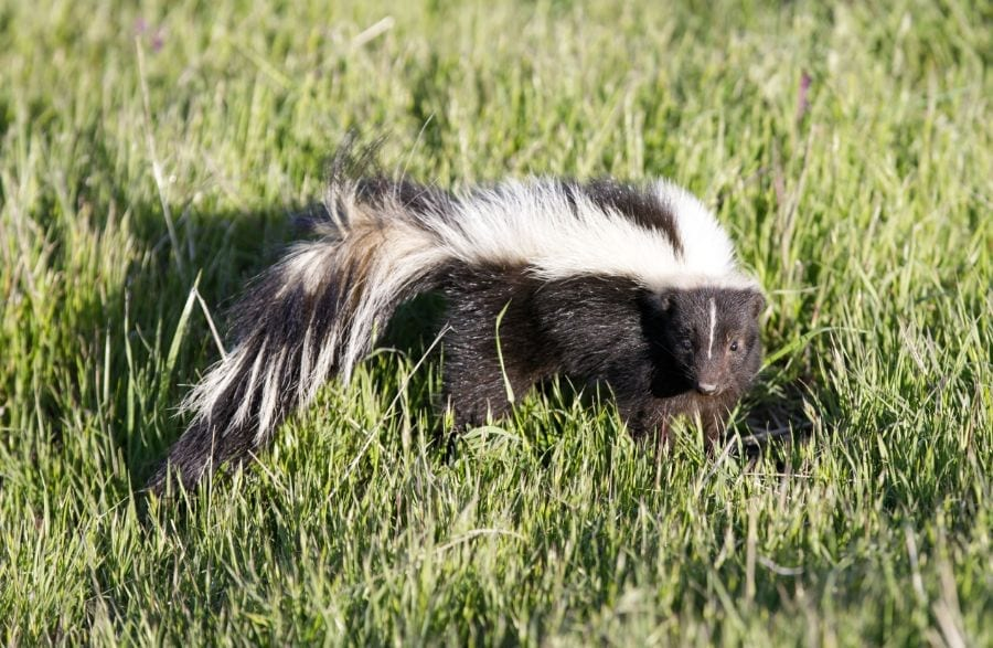 How to Get That Skunk Smell Out of Your Car (Interior and Exterior)